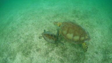 Tartarugas dominam a baía de Akumal, no México. (Bloco 01) - Baía de Akumal tem as condições ideais para as tartarugas marinhas.
