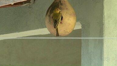 Morador de Umuarama convive com uma família de canários - Os pássaros moram dentro de cabaças colocadas na casa do morador.
