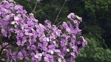 Manacá da Serra chama a atenção - São três cores em uma flor só, que pode ser vista na Serra do Mar.
