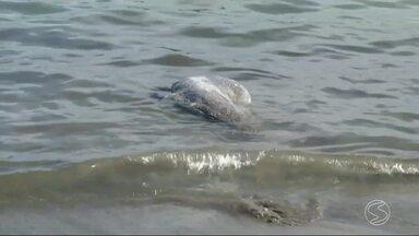 Golfinho é encontrado morto em Paraty, RJ - Mamífero já estava em estado de decomposição avançado, na Praia do Coqueiro.