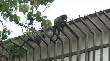 Minas Gerais já registrou 105 mortes por febre amarela - Em Belo Horizonte, foi confirmada a morte de mais um macaco contaminado com o vírus da doença. O que aumenta a preocupação com a disseminação da febre amarela na cidade.