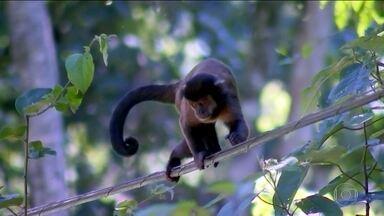 Morte de macacos em SP pode ter como causa medo da febre amarela - Região de São José do Rio Preto registra aumento de casos. Macacos são os primeiros afetados pela febre amarela silvestre.