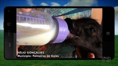Telespectadores enviam imagens da vida no campo, em Goiás - Morador de uma fazenda no estado mostra ninhada de 13 leitões.
