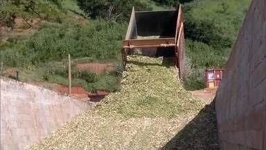 Chuvas do início do ano no Leste de Minas, ajudaram a recuperar boa parte das pastagens - Alívio para os produtores que precisam alimentar o rebanho.