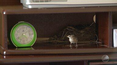 Casal de passarinhos escolhe lugar bem diferente para fazer ninho no interior da Bahia - Eles escolheram um cantinho dentro de uma casa. Confira na reportagem.