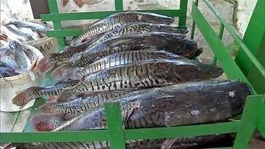 Projeto de lei deseja proibir pesca das espécies Dourado e Cachara em Corumbá - Quem vive dos rios diz que isso pode causar um desequilíbrio no meio ambiente. Aqueles que defendem a decisão afirmam que ela pode ajudar o turismo e também os pescadores.