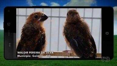 Confira as 'Imagens do Campo' enviadas por telespectadores - O Waldir Pereira da Silva enviou fotos de um pássaro bicudo que ele cria em Goiânia.