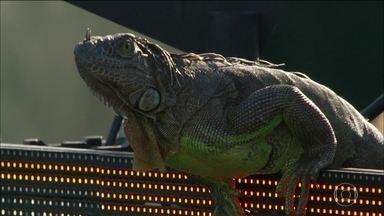 Iguana rouba a cena no Masters 1000 de Miami - Animal apareceu durante o confronto entre Tommy Haas e Jiri Vesely.