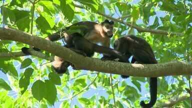 Sobe para seis o número de macacos mortos por febre amarela na região de Campinas - Após a confirmação de 4 mortes em Amparo (SP), nesta quinta (23) a administração de Monte Alegre do Sul (SP) confirmou mais dois casos na cidade.