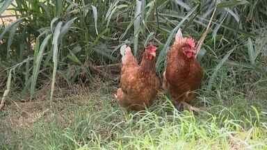 Granja mantém galinhas fora das gaiolas - Flávio Hiroshi Sagae é veterinário de uma granja de galinhas poedeiras em Tupã (SP). As 6 mil aves são criadas soltas e ficam divididas em 9 barracões, sendo que a concentração é de no máximo seis galinhas por metro quadrado.