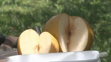Pesquisadores desenvolvem nova variedade de pera em SC - Pesquisadores desenvolvem nova variedade de pera em SC