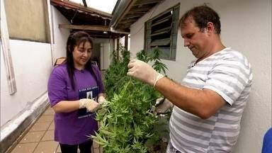 Família brasileira colhe maconha medicinal com autorização da Justiça - Enquanto indústria se prepara para colocar no mercado primeiro medicamento à base da erva, tem gente investindo no plantio e na produção caseira.