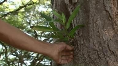 Orquídeas ajudam no trabalho de combate ao mosquitos aedes aegypti - As orquídeas estão sendo plantadas nos troncos das árvores de Umuarama.