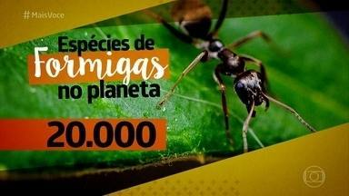 Organização das formigas impressiona - As espécies de formigas urbanas infernizam as donas de casa e são muito difíceis de eliminar justamente por conta da organização dos ninhos