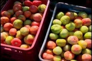 Produtores lucram com alta na safra de tomates em São José da Varginha - Frutos são vendidos para várias regiões do Estado.