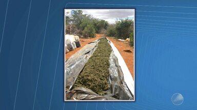 Polícia encontra 400 mil pés de maconha e mais 1 tonelada da droga - Drogas e plantação foram achadas no povoado de Lagoa Nova, no norte do estado.