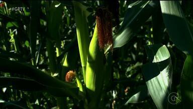 Venda do milho aumenta na região - Os produtores estão animados