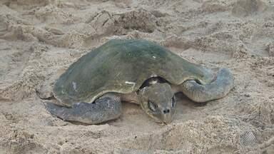Tartaruga marinha é encontrada morta na praia da Barra, em Salvador - Segundo os biólogos, o mar agitado e a ventania podem ter jogado a tartaruga para a beira do mar.