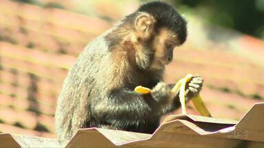 Macacos do Parque Arthur Thomas tiram o sono dos moradores da vizinhança - A Secretaria do Ambiente e a Universidade Estadual de Londrina (UEL) iniciaram um trabalho de monitoramento dos macacos para encontrar uma solução para o problema. A orientação inicial é para a comunidade não dar alimentos a eles.