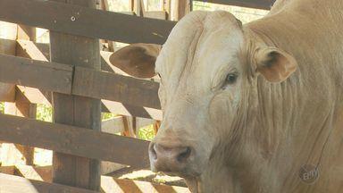 Conheça os touros mais temidos dos rodeios da Expoagro, em Guaxupé (MG) - Conheça os touros mais temidos dos rodeios da Expoagro, em Guaxupé (MG)
