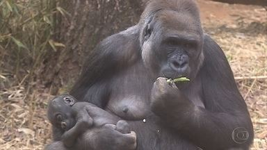 Enquete popular vai escolher o nome do novo gorila do Zoológico de Belo Horizonte - Você pode escolher entre os nomes Ayô, Kong e Toriba. A votação vai até o dia 1º de setembro.