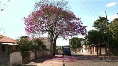 Beleza dos Ipês chama atenção - Os ipês estão por toda a parte colorindo as ruas de Paranavaí.
