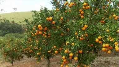 Produção de tangerina ponkan cresce em Minas Gerais - Em Belo Vale, os preços deixam os agricultores satisfeitos. Só nesta safra, eles devem colher 60 mil toneladas da fruta.