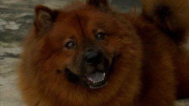 Cães da raça chow chow são dóceis e encantam pela fofura - Leia mais notícias do Ceará em G1.globo.com/ceara/