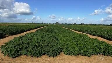 Plantio de soja gera lucros para agricultores sergipanos - Plantio de soja gera lucros para agricultores sergipanos.