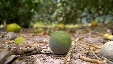 Alta nos casos de greening preocupa citricultores do Centro Oeste Paulista - Produtores de laranja da região Centro Oeste Paulista estão preocupados com o aumento dos casos do greening, uma doença transmitida por um inseto e que afeta diretamente a produção da fruta.