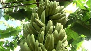 Município da Bahia se destaca na produção de banana - Com uma safra que só cresce a cada ano, Bom Jesus da Lapa, BA, é hoje o maior produtor da fruta no país. Motivos não faltam para ostentar esse título.