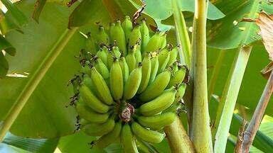 Mudanças bruscas nas temperaturas deixam produtores de banana de SC em alerta - Assista ao vídeo.