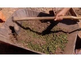 Aprenda a fazer um defensivo agrícola e um adubo orgânico com mamona - A mamona é um fruto muito comum e fácil de ser encontrado em minas.