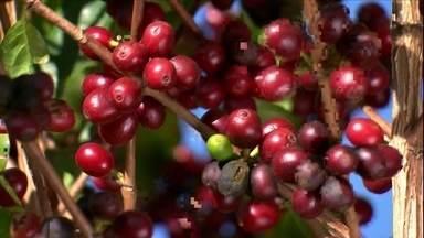 Nova técnica de colheita de café traz economia de tempo e custos - Colheita feita simultaneamente com a poda diminui tempo do processo em até quatro vezes, o que melhora a qualidade do café e garante preço melhor para o agricultor.