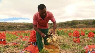 Região de Irecê ganha destaque com a produção de cebola - Trabalhadores rurais comemoram o bom progresso com a produção da hortaliça.