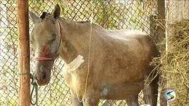 Morre égua prenhe que foi queimada em incêndio em Itatiaia, RJ - Animal chegou a ser levado para uma clínica veterinária especializada, onde ficou por cinco dias em tratamento, mas teve infecção generalizada.