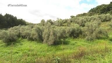 Produtores do Sul de Minas aproveitam o clima para cultivar azeitonas - Fabricação de azeite gera trabalhos na região