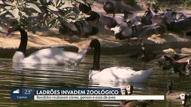 Ladrões roubam cisnes, gansos e ovos de aves no Zoológico da capital - O Zoológico já foi invadido várias vezes. A direção informou que conta com seguranças, mas que a área total do parque é de 824 mil metros quadrados.