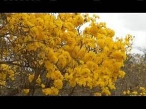 Ipês amarelos colorem o Leste de Minas - Agosto é o mês dos ipês.