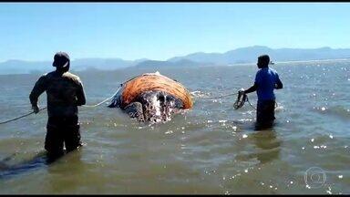 Em uma semana, 4 baleias encalham no Rio - Duas não sobreviveram. Biólogos acompanham jubarte que encalhou em Sepetiba. Animal não é visto desde ontem à tarde.