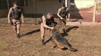 Cães ajudam a polícia de Umuarama a aumentar o número de apreensões - Eles são capazes de encontrar drogas e imobilizar suspeitos.