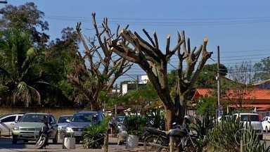 Prefeitura de Araruama, RJ, faz poda radical em árvores da cidade e moradores não aprovam - Confira a seguir.
