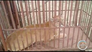Onça parda foi capturada em Paraibuna pela polícia ambiental - Ela ficou presa em um criadouro de cabras de uma fazenda.