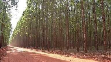 MS atinge 1 milhão de hectares de florestas de eucalipto - Com esse número, o estado já é o segundo maior produtor do Brasil.