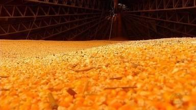 Viabilidade da produção de etanol de milho é confirmada em MT - Viabilidade da produção de etanol de milho é confirmada em MT.