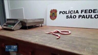 PF apreende 18 cobras e 12 lagartos com um passageiro no Aeroporto de Guarulhos - No meio de centenas de passageiros que chegavam no Aeroporto de Guarulhos, um chamou a atenção dos agentes da Receita e da Polícia Federal. Nas malas ele trazia roupas, objetos pessoais e cobras e lagartos.