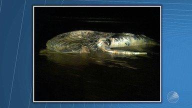 Baleia é encontrada morta em Prado, no extremo sul do estado - Veja no quadro da Previsão do Tempo.