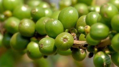 Cai a produção de café em MT - Calor intenso e lavouras antigas são alguns faltores que levaram agricultores a diminuíram as áreas de cultivo.