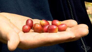 Apicultor de Pedra Azul investe na produção de café orgânico de qualidade, no ES - O apicultor é o Arnô Wieringa, mais conhecido como 'Seu Arnô'. Ele, há 7 anos trabalha com café e possui todo um cuidado com o processo de produção.