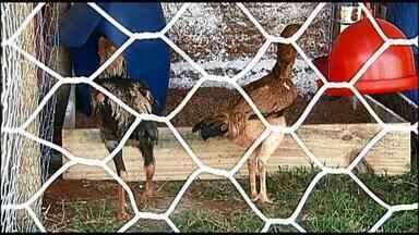 Leilão de galos gigantes movimenta mercado de avicultores em Uberaba - Leilões movimentaram cerca de R$ 14 mil neste ano.